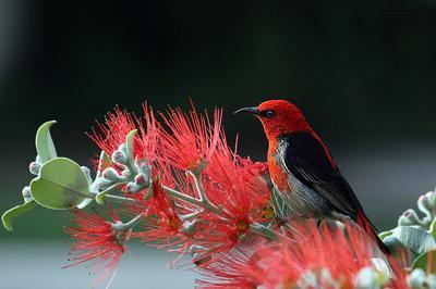 Scarlet Honey Eater - Veterinary Medicine - Bird Weighing 2.85KG
